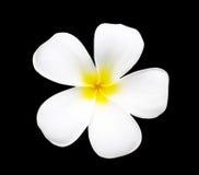 Frangipani kwiat odizolowywający na czerni Obraz Stock