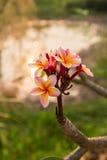 Frangipani kwiat pod słońca światłem Zdjęcia Royalty Free