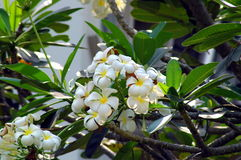 Frangipani kwiat w Tajlandia Obraz Stock