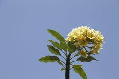 Frangipani kwiat z niebieskim niebem w Bali Zdjęcia Stock