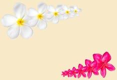 Frangipani kwiatu rama odizolowywająca na białym tle z kopią s Zdjęcia Royalty Free