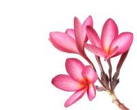 Frangipani kwiaty Zdjęcia Stock