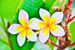 Frangipani kwiaty. Fotografia Stock