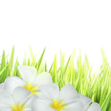 Frangipani kwiaty Obraz Stock