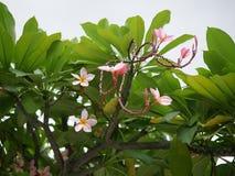 Frangipani kwitnie kwitnienie Różowy Frangipani, Plumeria, Świątynny drzewo, cmentarza drzewo fotografia stock