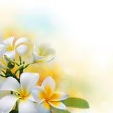 Frangipani kwitnie na światło słoneczne ranku tle obrazy royalty free