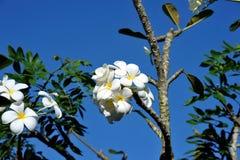 Frangipani kwitnie na drzewie przeciw niebieskiemu niebu Wietnam Fotografia Royalty Free