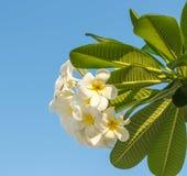 Frangipani kwiaty. Zdjęcia Stock