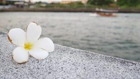 Frangipani kwitnie z rzeką i łodzią w tle zbiory wideo