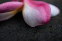 Frangipani, la chute hybride de fleur de Plumeria sur la table, images libres de droits