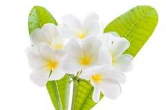 Frangipani (Lan thom) flower. Beautiful white flower in thailand,  Frangipani (Lan thom) flower Royalty Free Stock Images