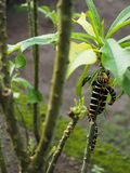 Frangipani caterpillar on the island of Martinique royalty free stock images