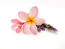 Frangipani with lavender. Two pink Frankipani flower blossoms with purple lavender isolated on white studio background Royalty Free Stock Photography