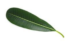 Frangipani leaf Royalty Free Stock Photo
