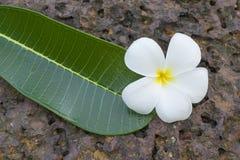 Frangipani and leaf Stock Photography