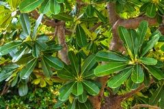 Frangipani leaf growing on a tree. stock photo