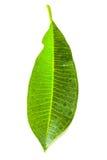 Frangipani leaf Royalty Free Stock Photos