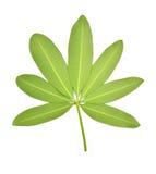 Frangipani leaf Stock Photo
