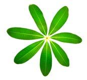 Frangipani leaf Stock Photography