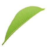 Frangipani leaf isolated Stock Image