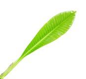 Frangipani leaf isolated Stock Photos