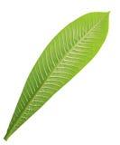 Frangipani leaf isolated Stock Photography