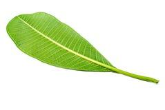 Frangipani Leaf. Single frangipani leaf on white background Royalty Free Stock Images