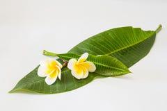 Frangipani and leaf Royalty Free Stock Photos