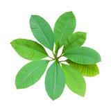 Frangipani leaves Stock Photos
