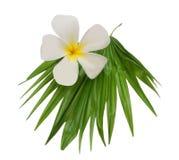 frangipani liść Obrazy Royalty Free