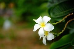 Frangipani lub Plumeria kwiat Zdjęcia Stock