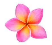 Frangipani lub plumeria tropikalni kwiaty odizolowywający na bielu Zdjęcia Stock