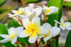 Frangipani lub plumeria tropikalny kwiat z wodnymi kroplami Zdjęcie Royalty Free