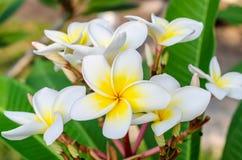 Frangipani lub tropikalny plumeria kwiat Obrazy Stock
