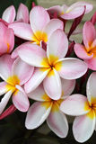 frangipani menchie Fotografia Stock