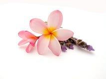 Frangipani met lavendel - Plumeria Royalty-vrije Stock Foto's