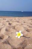 Frangipani na plaży Fotografia Royalty Free