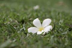 Frangipani na trawy polu fotografia stock