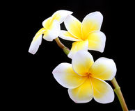 Frangipani at night Stock Image