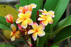 Frangipani is not beautiful Royalty Free Stock Photography