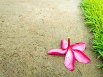 Frangipani o flor caído del Plumeria con rocío Imágenes de archivo libres de regalías