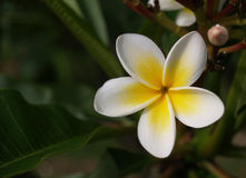Frangipani o flor tropiacal blanco del plumeria en fondo verde Imagen de archivo libre de regalías