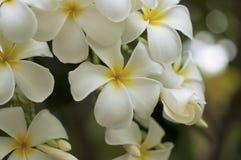 Frangipani oder Plumeria Lizenzfreie Stockfotos