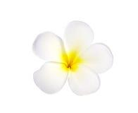 Frangipani oder Plumeria-Blume lokalisiert auf weißem Hintergrund Stockfotografie