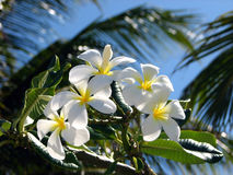 Frangipani-oder Plumeria-Blumen Lizenzfreies Stockbild