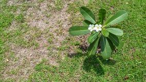 Frangipani-oder Plumeria-Blumen Lizenzfreie Stockbilder