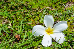 Frangipani-oder Plumeria-Blumen Lizenzfreie Stockfotos