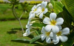 Frangipani-oder Plumeria-Blumen Stockbild