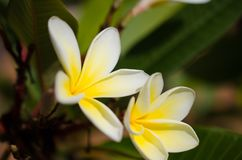 Frangipani - oh how you smile at the welcoming sun. Its as if the Frangipani gazes in awe and wonder at the very sun that reflects it. These pair say so much Royalty Free Stock Image