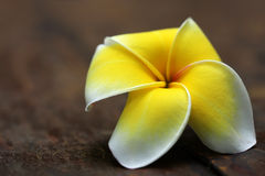 Frangipani. On old wooden surface royalty free stock image